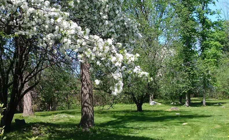 flowering-apple-tree-2017.jpg
